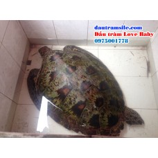 Thêm một cá thể rùa lớn lạc vào Phá Tam Giang - Cầu Hai