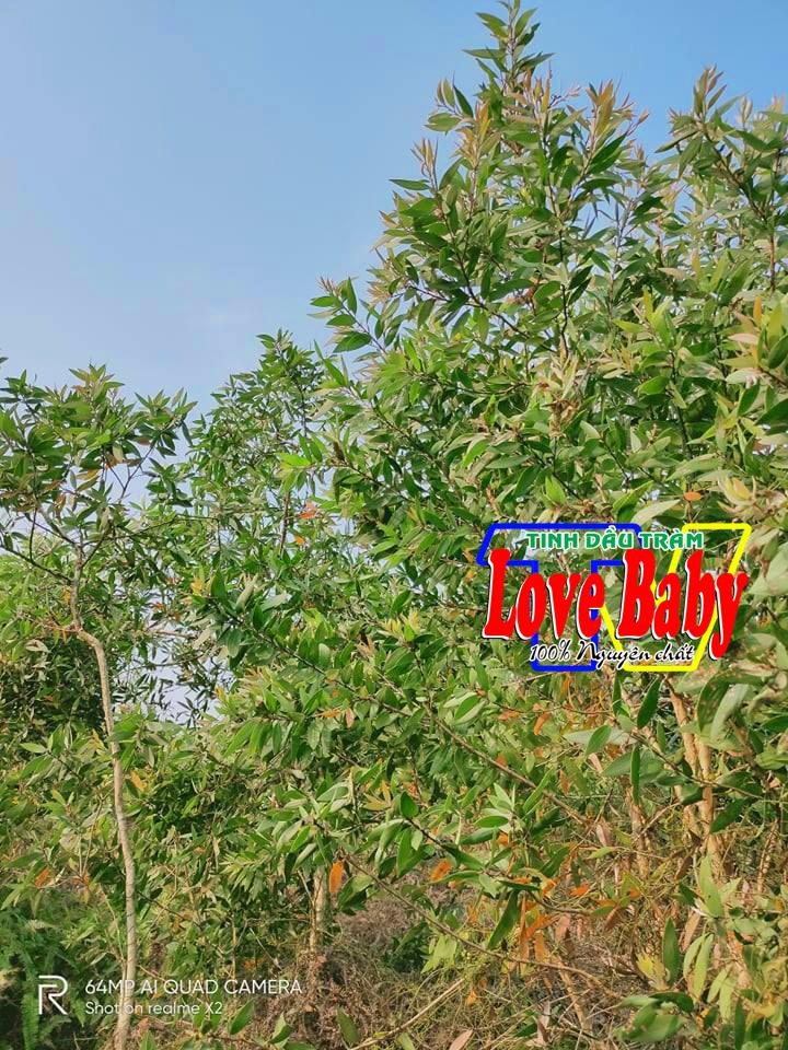Rừng cây tràm gió của cơ sở tinh dầu Love BaBy